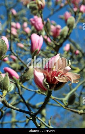 Eine tiefrosa Magnolienblüte ragt vor rosafarbenen Knospen hervor, die sich an einem hellblauen Himmel befinden. Fotografiert im März in einem englischen Garten.