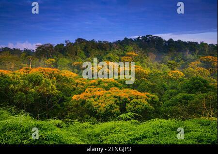 Orange Blumen auf werden die Bäume in der premontane feuchten tropischen Regenwald in Burbayar Naturschutzgebiet, Panama Provinz, Republik Panama.
