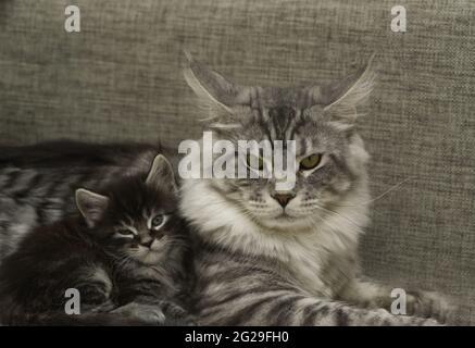 Eine Erwachsene Katze mit einem Kätzchen liegt zusammen