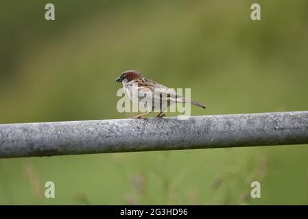 Nahaufnahme von Male House Sparrow (Passer domesticus), das im Juni auf einem Metal Farm Gate in Wales mit Blick auf Farmland thront