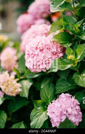 Rosa Hortensien Blüten Nahaufnahme in grünen Blättern.
