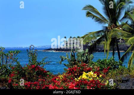 Bougainvillias und Kakteen blühen im tropischen Klima der Big Island von Hawaii Seite an Seite.