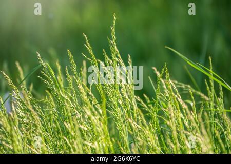 Blick auf Gras Garten Konzept für die Herstellung von grünen Bodenbelag verwendet, Rasen für das Training Fußballplatz, Grass Golfplätze grünen Rasen Muster texturierten backgrou