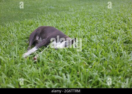 Dhaka, Bangladesch. Juli 2021. Ein streunender Hund kann sich nach dem Essen in einem Park während der landesweiten Sperre in Dhaka ausruhen. Quelle: MD Mehedi Hasan/ZUMA Wire/Alamy Live News