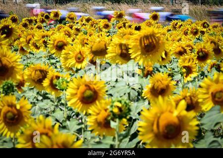 Abbildung Bild zeigt das Rudel von Fahrern in Aktion hinter den Sonnenblumen während der Etappe 13 der 108. Auflage des Radrennens der Tour de France,
