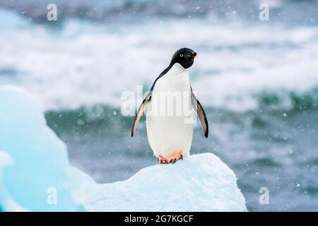 Ein Adeliepinguin auf einem Eisberg in der Antarktis