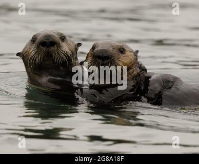 Zwei Südlichen Seeotter am Elkhorn Slough. Monterey Bay, Kalifornien, USA.
