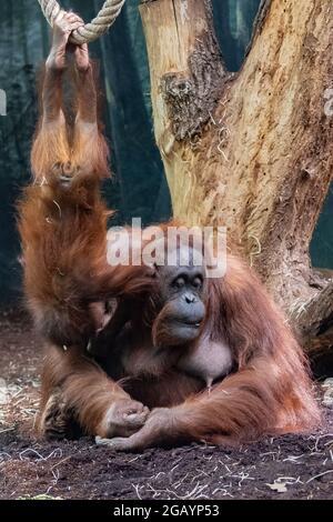 Eine Orang-Utan-Mutter mit ihrem kleinen Affen