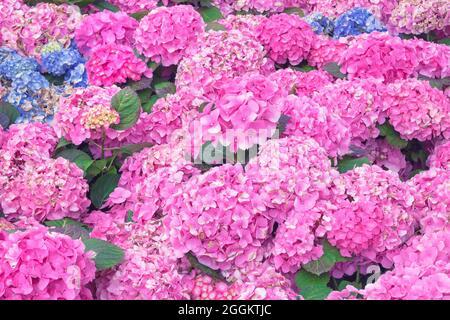 Hydrangea Feld in voller Blüte, Genua, Ligurien, Italien