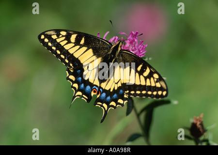 Anis-Schwalbenschwanz (Papilio Zelicaon) - Stockfoto