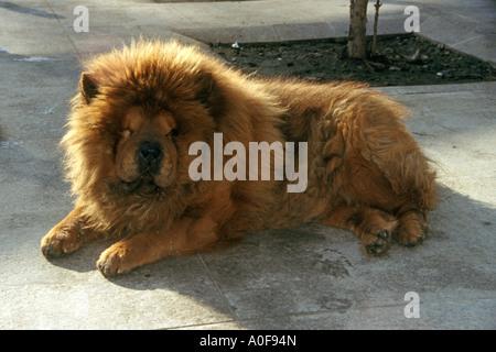 Riesige löwenartige Hund mit Ingwer Fell Hintergrundbeleuchtung in der Straße in Istanbul Türkei - Stockfoto
