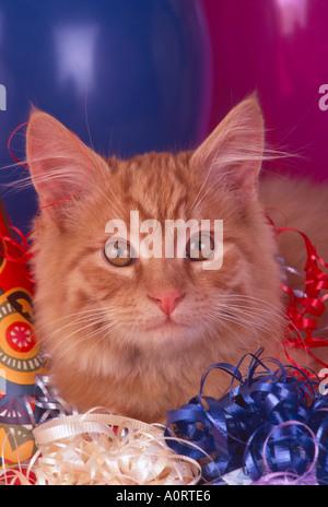 Langhaarige lange Haare Orange inländischen Kätzchen mit Ballons Bänder Krachmachern Partei Thema Feier PR CL - Stockfoto