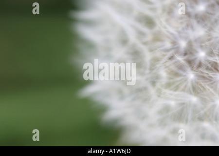 Aus Fokus Löwenzahn Kopf vor grünem Hintergrund - Stockfoto