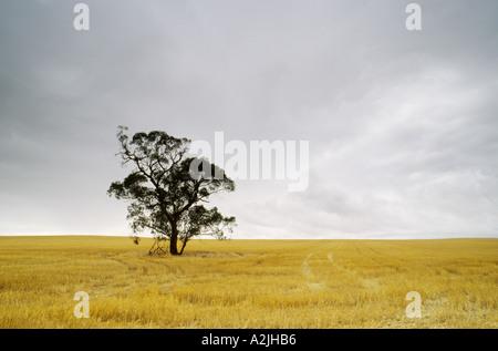 Erntefrisch Weizenfeld mit einsamen Gum Tree gegen Regen Wolken Südaustralien - Stockfoto
