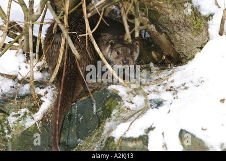 Europäischen Fischotter Lutra Lutra im Schnee versteckt unter einer Weide Baum gefangen - Stockfoto