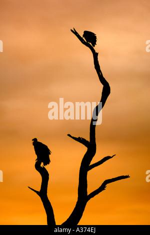 Afrikanische weiß unterstützt Geier (abgeschottet Africanus) auf einem Ast in Südafrikas Krüger Nationalpark. - Stockfoto