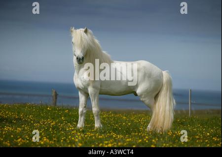Isländische reinrassige Pferd - Stockfoto
