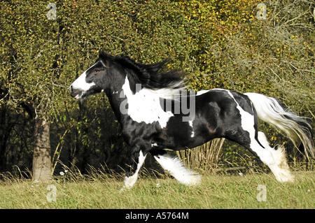 Tinker Pferd - Stockfoto