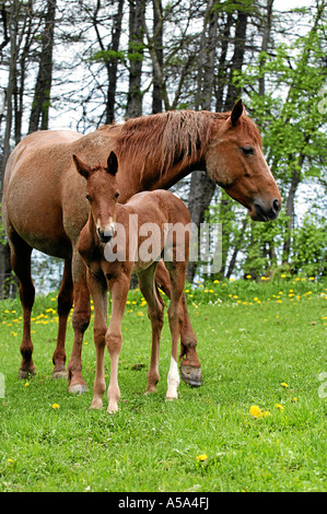 Appaloosa Pferd - Stockfoto