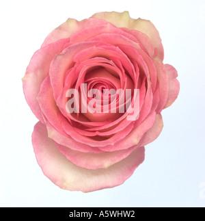 Rosa rose Knospe erschossen vor einem weißen Hintergrund - Stockfoto