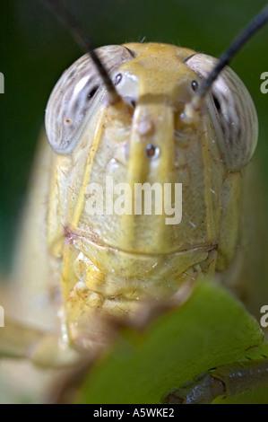 Extreme Nahaufnahme Portrait der Heuschrecke hält Blatt - Stockfoto