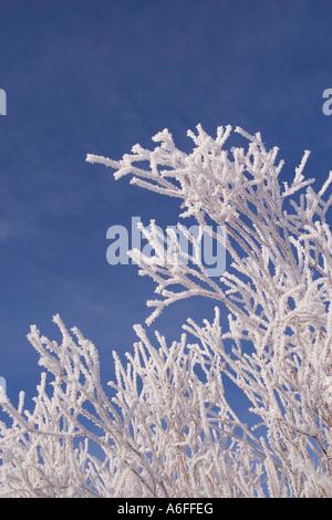 Weidenzweigen abgedeckt mit Frost vor blauem Himmel im Martis Tal nahe Truckee, Kalifornien - Stockfoto