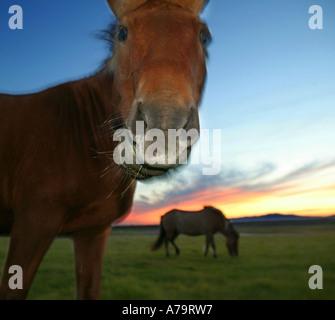 Reine Rasse isländische Pferd, Island - Stockfoto