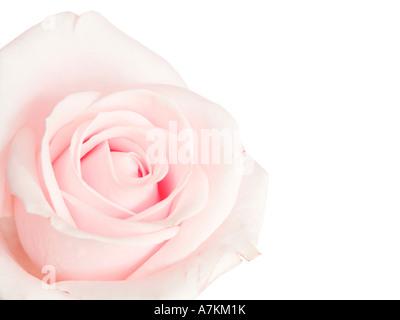 Rosa Rose auf dem weißen Hintergrund isoliert - Stockfoto