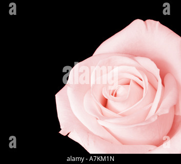 Rosa Rose vor schwarzem Hintergrund isoliert - Stockfoto