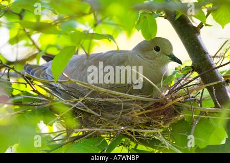 Eurasian collared dove in einem nest - Stockfoto