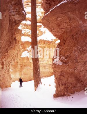 Wanderer kümmert sich bei lone Pine in den Eingeweiden der Bryce Canon einen Frühling Schnee-Sturm - Stockfoto