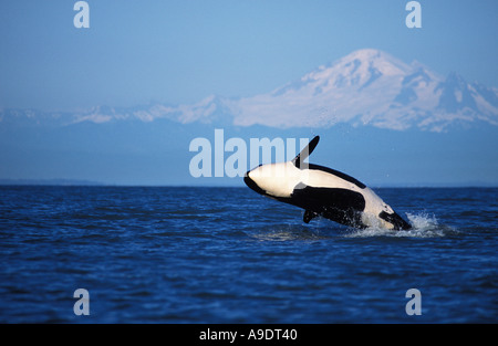 NS3 ORCA Wal Orcinus Orca verletzt Mount Baker im Hintergrund Washington USA Pazifik Foto Copyright Brandon Cole - Stockfoto