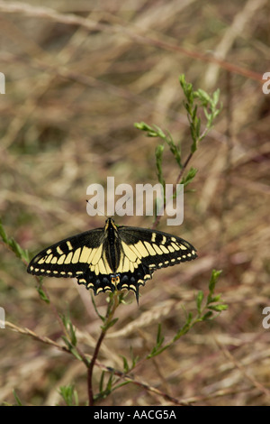 Anis-Schwalbenschwanz-Schmetterling - Stockfoto