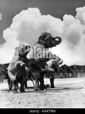 1930er Jahre Zirkus TRAINER vor 3 Elefanten Elephas Maximus Indicus STANDING ON HIND Beine - Stockfoto