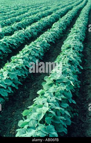 Reihen von Sojabohnen wachsen in Illinois - Stockfoto