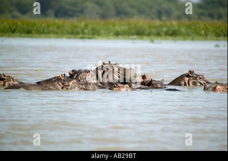 Gesichter der Untergetauchten Schule der Flusspferde in Lake Naivasha Great Rift Valley Kenia Afrika - Stockfoto