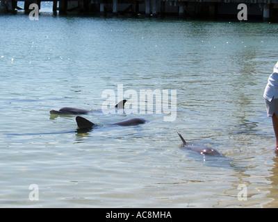 Delfine in Monkey Mia, Shark Bay, Westaustralien - Stockfoto
