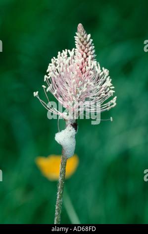 Schaum-Speichel der Larve der Zikade Philaenus Spumarius auf Wiesensalbei Blüte Plantago lanceolata - Stockfoto