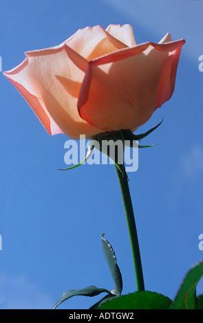 Einzigen offenen rosa Rose Hintergrund Himmelblau - Stockfoto