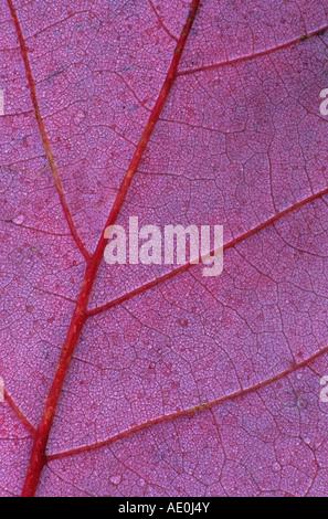 Red Maple Leaf Detail (Acer Rubrum) - Stockfoto