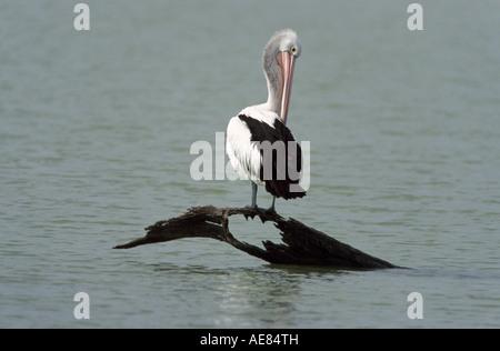 Australischer Pelikan, See Cullulleraine, NW Victoria, Australien, horizontal, Pelecanus conspicillatus - Stockfoto