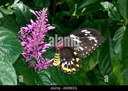 Ornithoptera Richmondii (Richmond Birdwing) Schmetterling im Flug über den Boden auf Nektar reichen tropischen Blume - Stockfoto