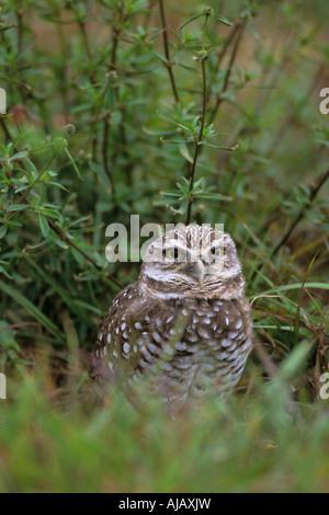 Kanincheneule (Athene Cunicularia) - Stockfoto