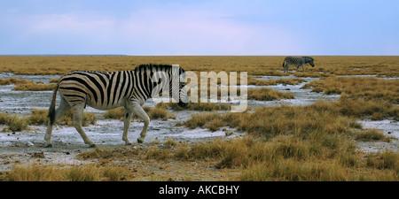 Burchell Zebra Equus Burchelli überqueren Savanne Ebenen im Etosha Nationalpark in Namibia Afrika - Stockfoto