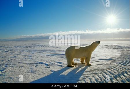 Eisbär (Ursus Maritimus), Hudson Bay, Kanada, Nordamerika - Stockfoto