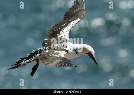 Basstoelpel Sula Bassana Northern Gannet Morus bassanus - Stockfoto