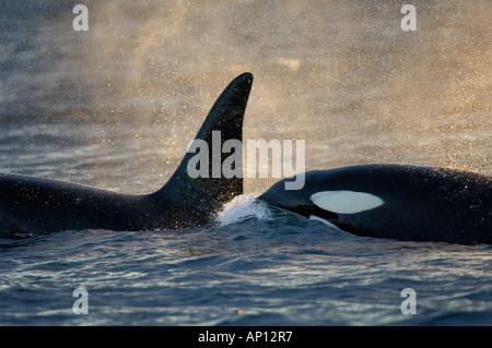 Orcas oder Schwertwale (Orcinus Orca) Leben in Gruppen, den Hülsen - Stockfoto