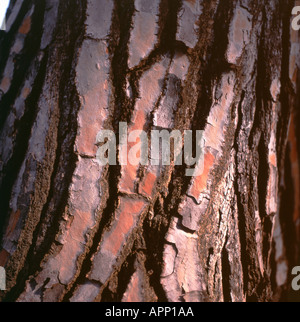Detail der Rinde der Zypresse Baum steht neben englischen Dichters 'John Keats' Grabstein in Rom Italien - Stockfoto