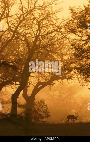 Sunrise-Silhouette ein einsamer Impala RAM unter blätterlosen Bäumen an einem nebligen Bushveld-Morgen - Stockfoto