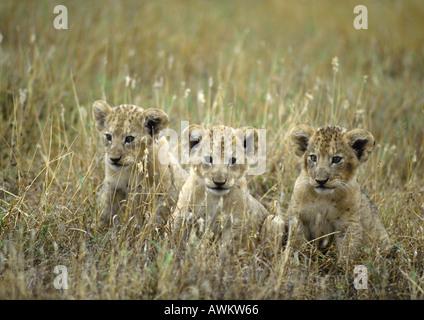 Afrika, Tansania, drei Löwenbabys (Panthera Leo) sitzen in hohe Gräser - Stockfoto